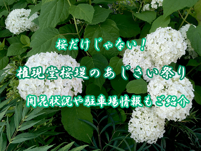 権現堂桜堤のあじさい祭り!2020の開花状況や駐車場情報をご紹介